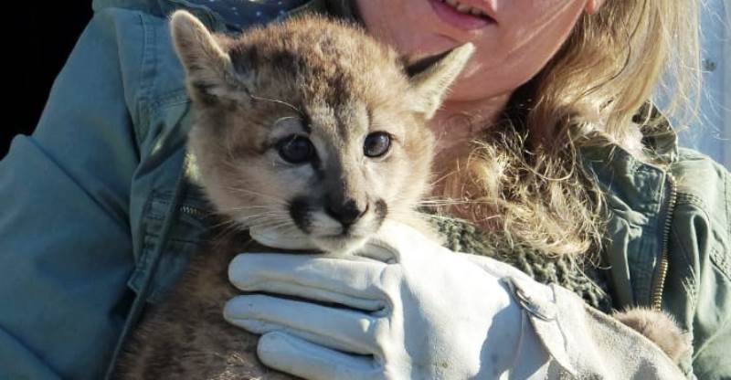 VIDEO. Una cría de puma fue encontrada en la calle