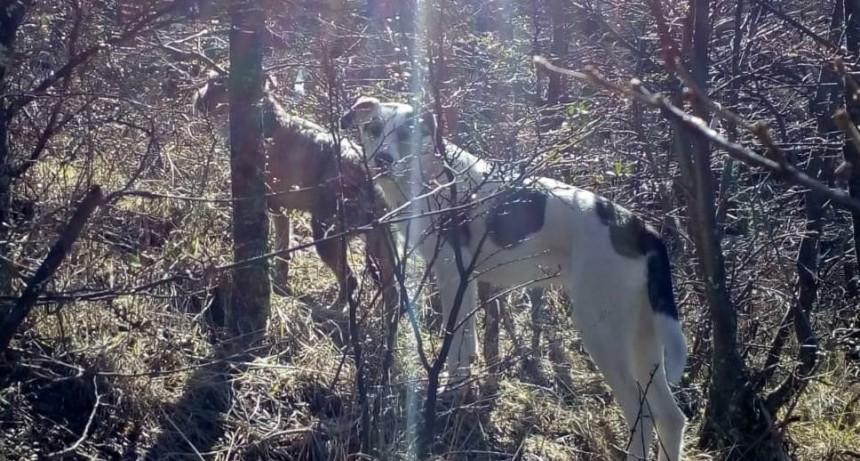 VIDEO. Otra vez. Perros persiguen a huemul en El Chaltén.